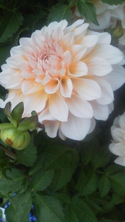 鎌倉は紫陽花祭り…